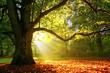Leinwanddruck Bild - Mighty oak tree
