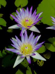 Exotic Bloom Lotus Closeup