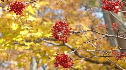 秋の風に揺れる紅葉_20