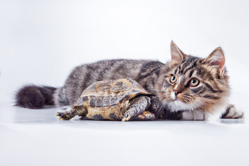 tabby cat with a turtle on a white background