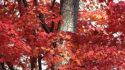 秋の風に揺れる紅葉_31