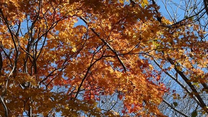 秋の風に揺れる紅葉_34