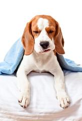 sick dog  on  white background