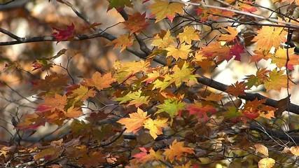 秋の風に揺れる紅葉_29