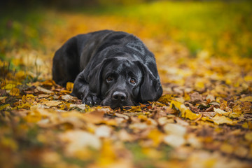 black labrador autumn in nature, vintage