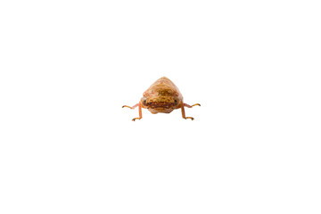 Auchenorrhyncha Hemiptera isolated on white background