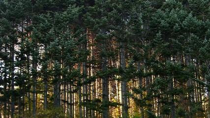 松の林に夕日が差し込む風景_2