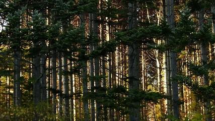 松の林に夕日が差し込む風景_1