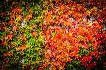 Herbstliche Blaetter rot gelb und gruen von Wildem Wein