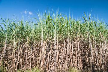 Sugarcane field in blue sky