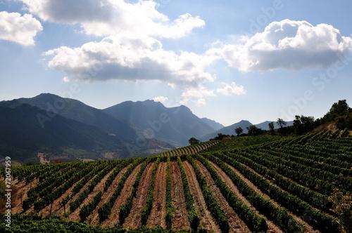 Foto op Plexiglas Wijngaard The vine