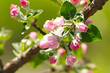 Flowers on a branch of fruit tree.
