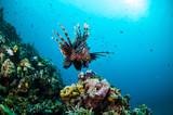 Lionfish swim in Gili Lombok Nusa Tenggara Barat underwater