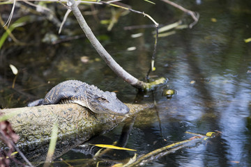 Young alligator in the Everglades, Florida.
