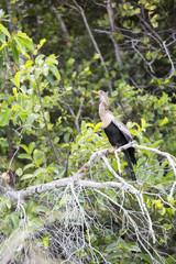 Female anhinga bird in the Everglades, Florida