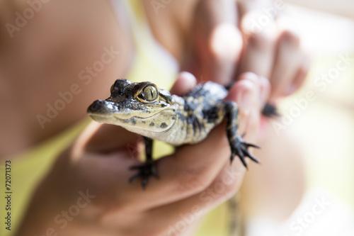 Fotobehang Krokodil Baby alligator being held, Everglades in Florida.