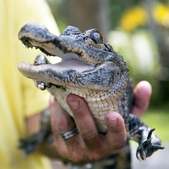 Cute baby alligator being held, Everglades, Florida.