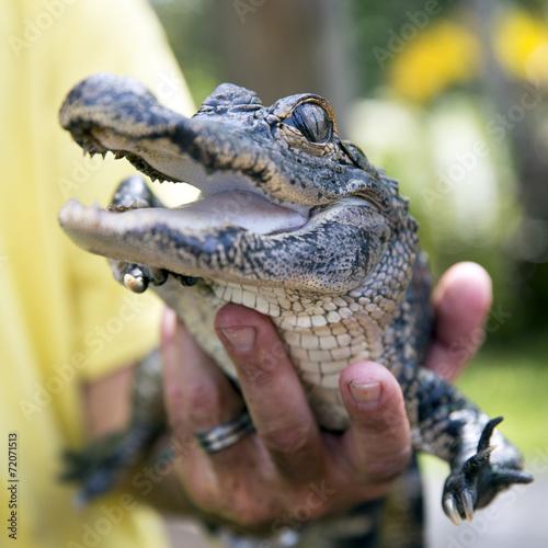 In de dag Krokodil Cute baby alligator being held, Everglades, Florida.