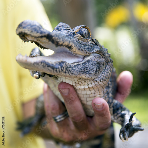 Canvas Krokodil Cute baby alligator being held, Everglades, Florida.