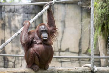 Female orangutan.