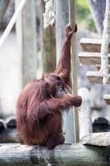 Orangutan sat eating.
