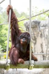 Beautiful male orangutan hanging onto rope swing.