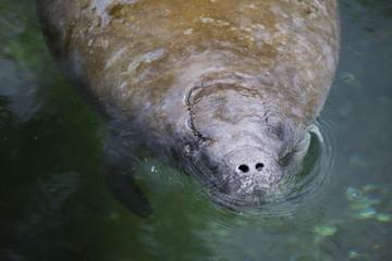 A swimming Florida manatee.