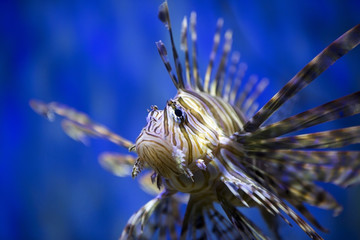A beautiful lion fish swimming in blue water.