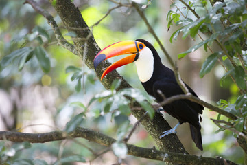 Toucan (Ramphastos toco) sitting on tree branch.