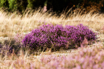 Heide in der Blüte