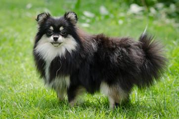 Cute pomeranian puppy on green grass