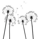 Fototapeta black vector dandelions and white background