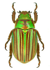 Jewel scarab beetle Chrysina adelaida from Mexico