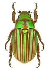 Jewel scarab beetle Chrysina adelaida from Mexico