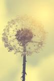 Wet dandelion - 72077733