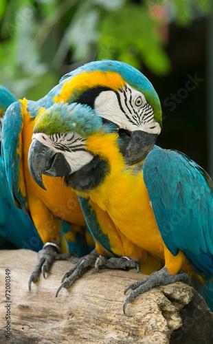 Macaws parrots © Pakhnyushchyy