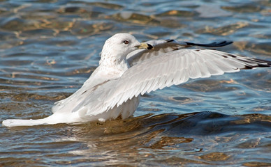Seagull stretching her wings while balancing on the water