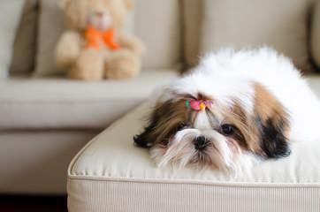 Cute shih tzu puppy is crouching on sofa
