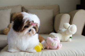 Cute shih tzu puppy is sitting on sofa