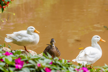 Two white ducks and one female wild duck