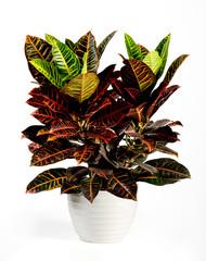 Attractive Croton Plant on White Pot