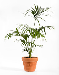 Kenzia Palm Plant on Ordinary Brown Pot