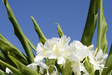 ハナシュクシャの花と青空