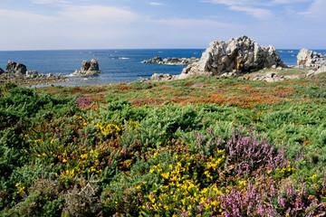fioritura erica e brugo brughiera penisola di camaret bretagna