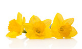 Flowers daffodils isolated on white close-up.