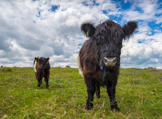 Black and White Cows on Dartmoor Moorland