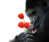 Sweet animal portrait of a gorilla holding red tulip flowers