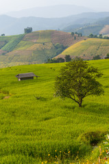 Greeny rice field