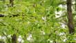 Obrazy na płótnie, fototapety, zdjęcia, fotoobrazy drukowane : Wind blowing leaves of a tree