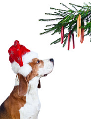 beagle in Santa hat isolated on white